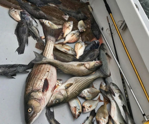 Stripers, Sea Bass, Fluke and Porgy fishing with Southbound Fishing Charters
