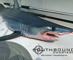 Mako shark landed with Southbound Fishing Charters out of Waterford, CT