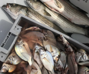 A grat mixed bag of Porgy and Striped Bass aboard Southbound Fishing Charters out of Waterford, CT